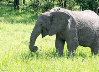 We watched this giant wrap its trunk around wad of grass, and roll up its truck to stuff the grass in its mouth.