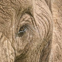 Elephant Eyelash Day8k_30